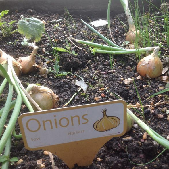 Our onions are growing really well