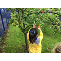 Picking the apples.