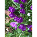 These are crocus flowers.