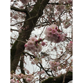 Blossom and buds on the trees.