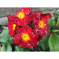 Primulas are spring flowers.