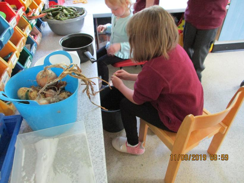 Shelling the broad beans from our school garden!