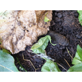 19/09/2020 The caterpillar is hiding under the leaf litter. Do you know why?