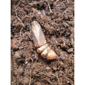 01/10/2020 Our caterpillar is pupating well! Can you tell which end is the head or tail?