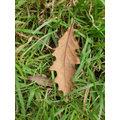 Draw the leaf. Why is it brown?