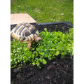 Junior's tortoise is enjoying the vegetable patch