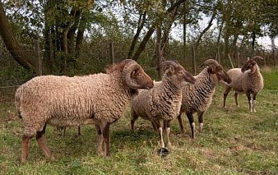 Castlemilk Moorit Sheep