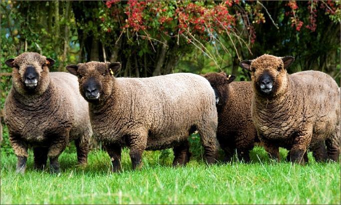 Coloured Ryeland Sheep