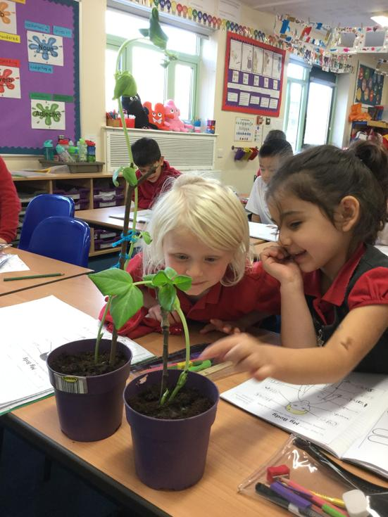 KS1 making some observations over time of a bean growing