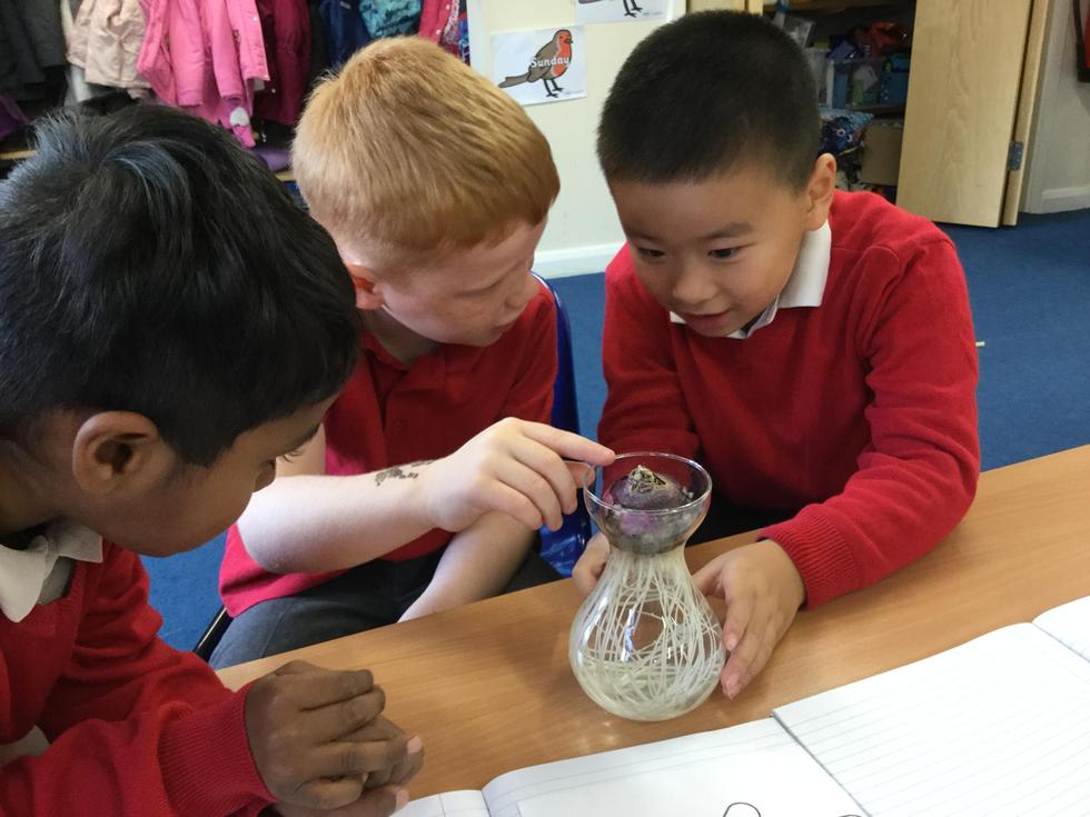 KS1 observing over time a hyacinth bulb growing