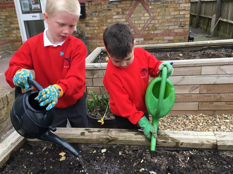 Watering the raised beds