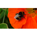 Bumble bee on poppy.