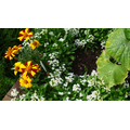 Alyssum, Harlequin Marigolds and a CUCUMBER leaf!