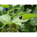 An invasive harlequin ladybird.