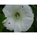 Hedge Bindweed and Pollen Beetles.