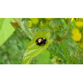 Unusual Ladybird - possibly Propylea 14-punctata.