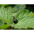 Harlequin ladybird.