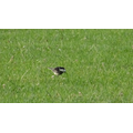 Male Pied Wagtail on the field this morning.