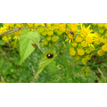 Ladybird, Fly and Caterpillar...on Ragwort.