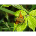 A 'Small Skipper' butterfly.