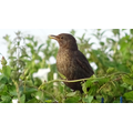Mrs Blackbird was vocal this morning.