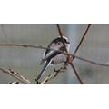 A very welcome visitor - a Long-Tailed Tit.