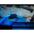Sting ray and Native Shark tank