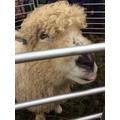 Mabel from Cholderton
