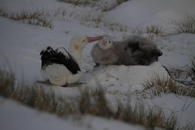 An albatross mother preening her chick.