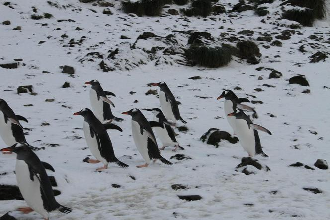 A chinstrap penguin amongst the gentoos.