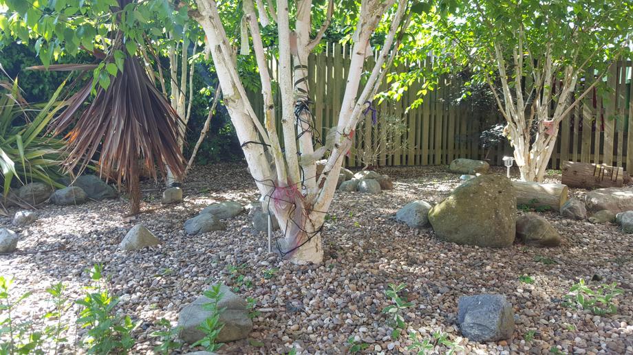 Birch trees in sensory garden