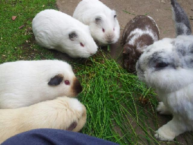 Guinea Pig and bunny group