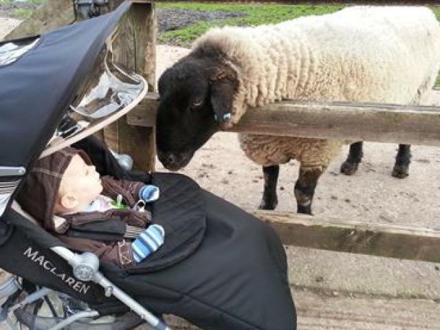 Meet Simple the Sheep