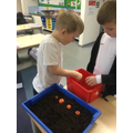 Planting carrot tops- will the seeds or carrot tops grow faster?
