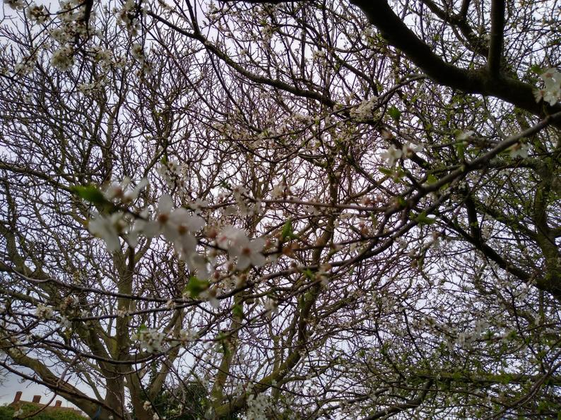 The blossom is coming out now