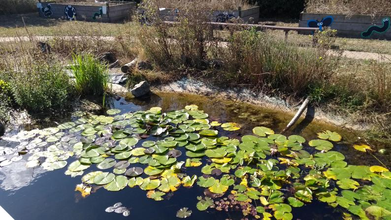 Our large pond - good for newts
