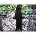 The huge Giant Otter was waiting to be fed.