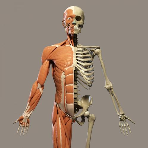 Skeletons, muscles and joints