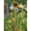 The sunflowers have changed colour
