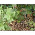Blackberries appear in the autumn