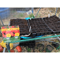 Potato, nasturtiums and broad beans planted