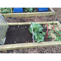 Potato, nasturtiums and broad beans planted