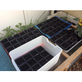 Growing beans in the Nursery