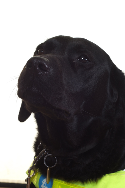Coco - Rev Steph's guide dog