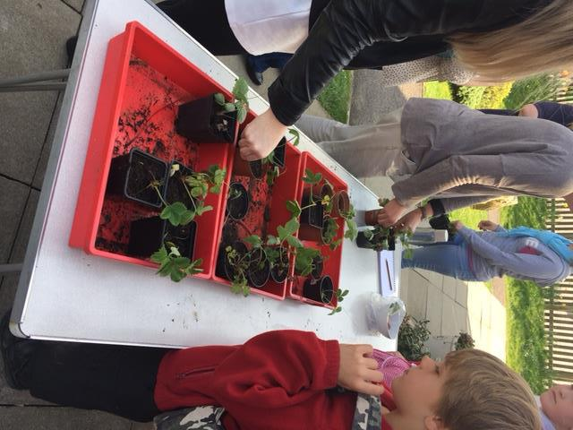 Strawberry Plant Sale March 2016