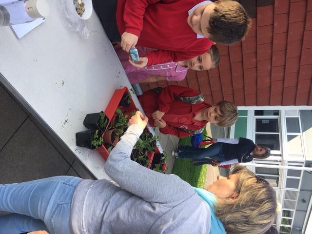 Strawberry Plant Sale March 2016