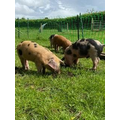 Harry and Monty's new pigs