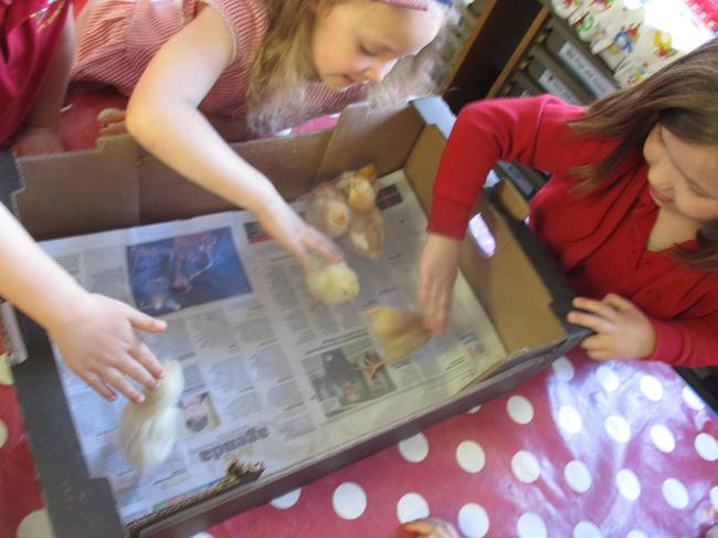 We had to be very gentle handling the chicks.
