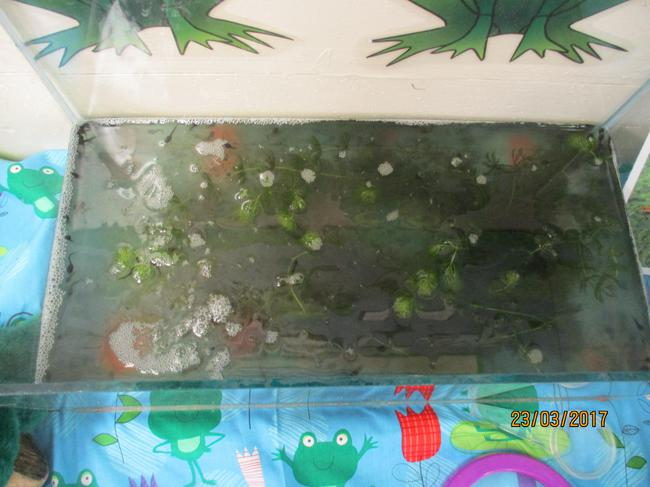 Our frog spawn are now tiny tadpoles!