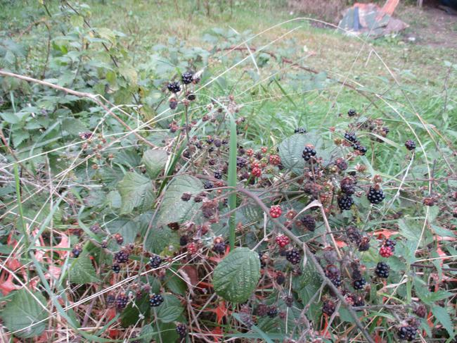 We found blackberries.